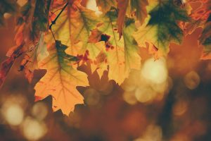 Leaves in fall with vibrant orange coloring
