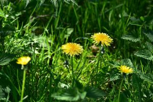 a few dandelions in a yard
